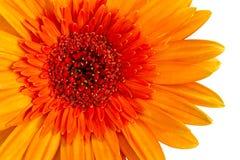 Closeup a orange gerbera daisy flower. Stock Photography