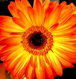 Closeup of Orange Gerbera Daisy. Closeup of single blossom: intensely colored Orange Gerbera Dasiy Flower royalty free stock image