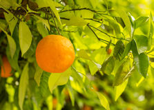 Closeup of orange growing on tree Royalty Free Stock Image