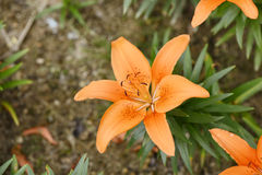 Closeup of orange lily flowers Royalty Free Stock Photos
