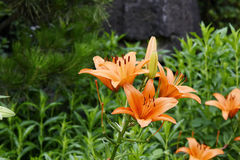 Closeup of orange lily flowers Stock Image