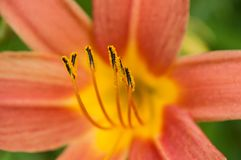 Orange lily pistil. Closeup of orange lily pistil royalty free stock image