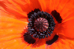 Closeup of orange poppy Royalty Free Stock Image