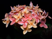 Closeup of orange red ixora inflorescence Royalty Free Stock Image