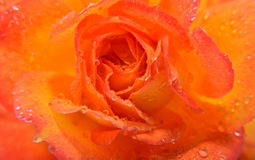 Closeup of a Orange Rose Royalty Free Stock Image