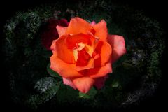 Opened blooming rose with orange petals - graphic arts design. Closeup of an orange rose with big opened petals in an ocean of leaves - graphic arts design stock images