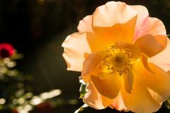 Closeup of an orange rose with dark green background in sunny autumn backlight. Selective focus. Shallow depth of field. Stock Photo