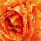 Closeup Orange Rose Fine Art. Digital painting created by hand using several techniques to resemble watercolor on paper Stock Photography
