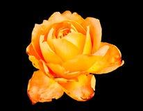 Closeup of orange rose flower isolated black background Royalty Free Stock Images