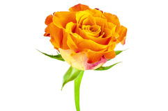 Closeup of orange rose flower Stock Images