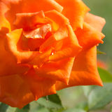 Closeup orange rose. Stock Images