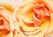Closeup of an orange rose with dewdrops royalty free stock image