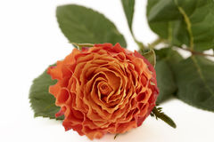 Closeup orange rose Stock Images