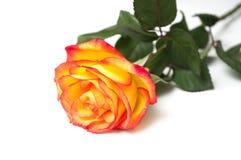 Orange rose on white background. Closeup of orange rose on white background royalty free stock image