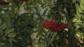 Closeup of orange rowan berries or mountain ash tree with ripe berries in autumn. Closeup of orange rowan berries or mountain ash tree with ripe berries in stock footage