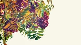 Closeup of orange Rowan berries or Mountain Ash tree with ripe berries in autumn stock video footage