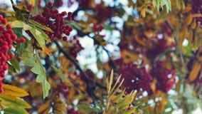 Closeup of orange Rowan berries or Mountain Ash tree with ripe berries in autumn. Closeup of colourfull orange Rowan berries or Mountain Ash tree with ripe stock footage