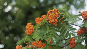 Closeup of orange Rowan berries or Mountain Ash tree with ripe berries in autumn stock video