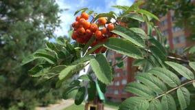 Closeup of orange Rowan berries or Mountain Ash tree with ripe berries stock video
