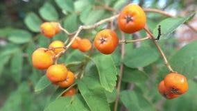 Closeup of orange Rowan berries or Mountain Ash tree with ripe berries stock video footage