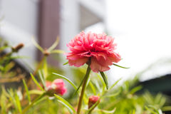 Closeup Orange small flower. Portulaca. Stock Photography