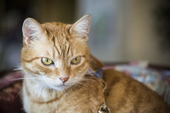 Closeup of orange tabby male cat with green eyes Stock Photography