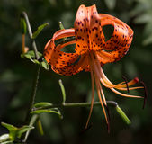 Closeup of Orange Tiger Lily Royalty Free Stock Photos