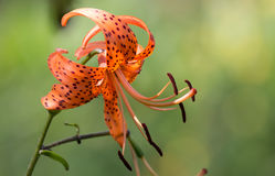 Closeup of Orange Tiger Lily Royalty Free Stock Images