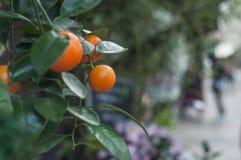 Orange tree at florist. Closeup of orange tree at florist Royalty Free Stock Photos