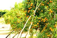 Closeup orange tree. Fresh orange on tree,Orange Farm,Orange park Royalty Free Stock Photos