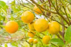 Closeup of orange from tree Stock Photos