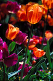 Closeup orange tulip in field of tulips. Royalty Free Stock Photo