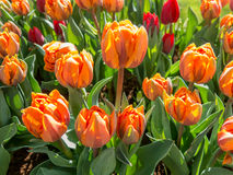 Closeup orange tulip in Holland Stock Photos