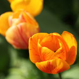 Closeup of orange tulip and rain drop Royalty Free Stock Image