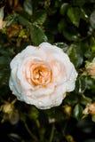Closeup orange and white rose flower Stock Images