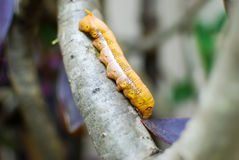 Closeup of orange worm caterpillar. On a dry branch stock photo
