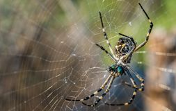 Orb weaver spider and web Royalty Free Stock Photos