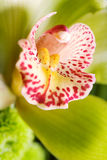 Closeup of orchid Stock Images