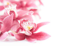 Closeup on orchid blossoms on white, text space Royalty Free Stock Photos