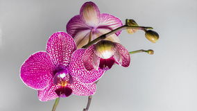Closeup orchid flower blossom growing time-lapse stock video footage