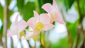 Orchid flowers. Closeup of orchid flower with fresh green nature blurred background at the park Royalty Free Stock Photo