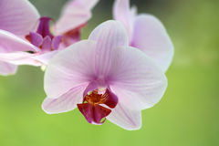 Closeup of orchid flower Stock Images