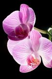Closeup of orchid flowers on black Stock Photos