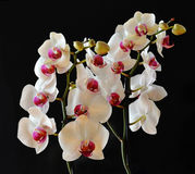 Closeup of orchids Stock Image