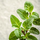 Closeup oregano leaves from the herb garden. Fresh oregano herb Royalty Free Stock Photography