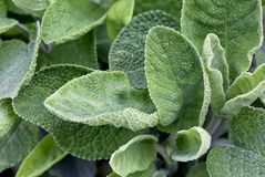 Organic garden cultivated sage stock image