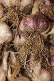 Closeup of fresh organic homegrown garlic onion with roots Royalty Free Stock Photography