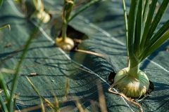 Organic onion crops Royalty Free Stock Images
