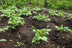 Closeup of organic potato plants in garden Stock Photography