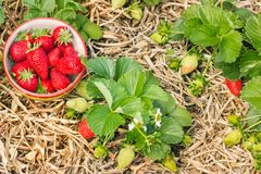 Organically grown strawberry plants with ripe strawberries in china bowl. Closeup of organically grown strawberry plants with ripe strawberries in china bowl stock image